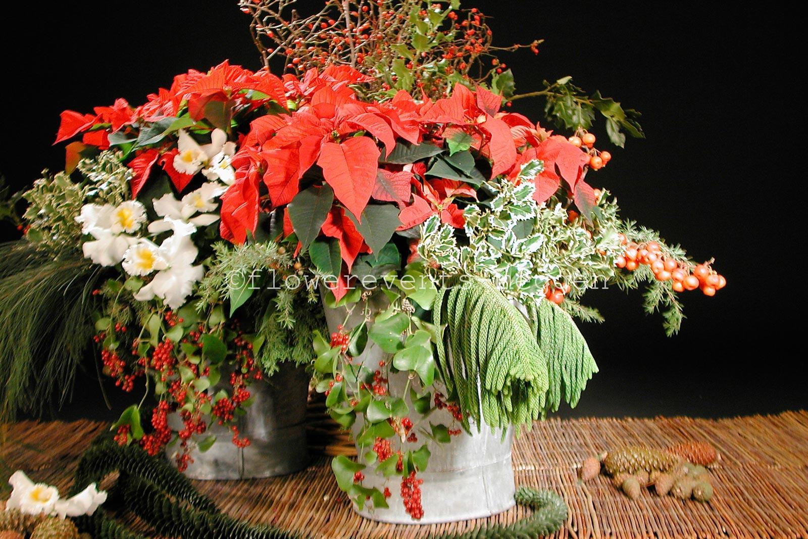 winter_weihnachtssterne_orchideen