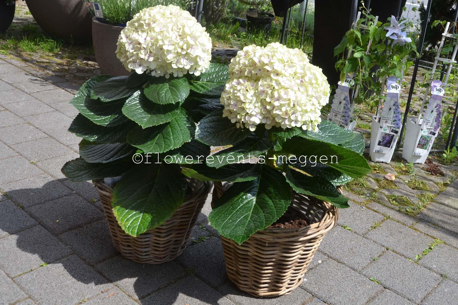 hortensien hydrangeas flowerevents blumen luzern. Black Bedroom Furniture Sets. Home Design Ideas