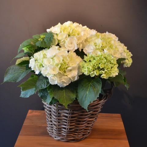 pflanzen online archive blumen flowerevents luzern. Black Bedroom Furniture Sets. Home Design Ideas