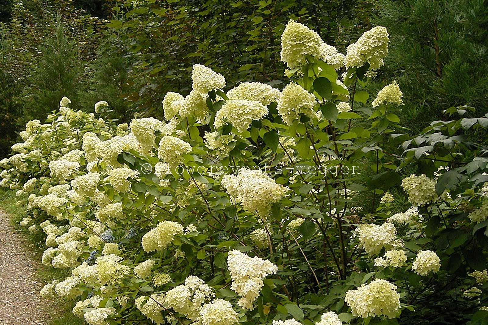 hortensien hydrangeas blumen flowerevents luzern. Black Bedroom Furniture Sets. Home Design Ideas